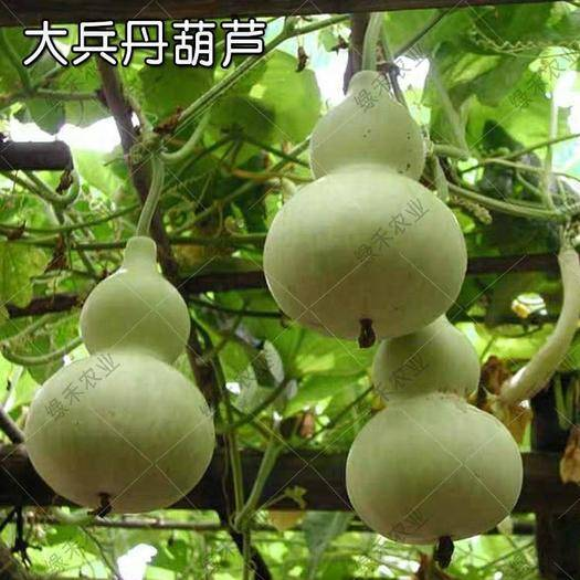 济南 宝葫葫芦种子 先亚腰葫芦
