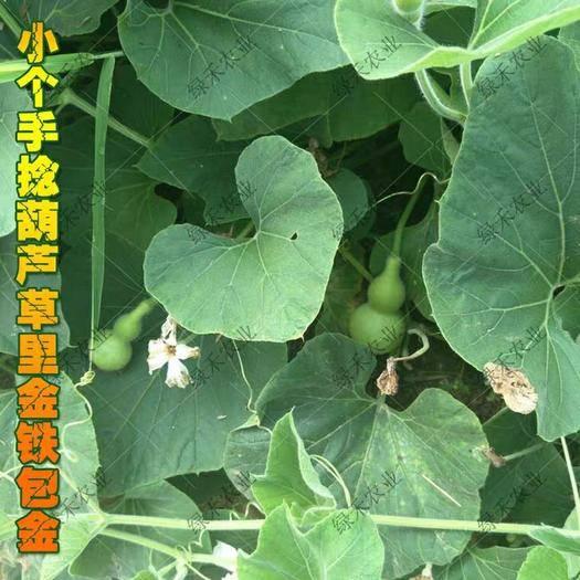 济南手捻葫芦种子 铁包金 草里金文 玩葫芦籽