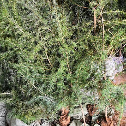 宿遷沭陽縣雪松  籽播苗一米以上高