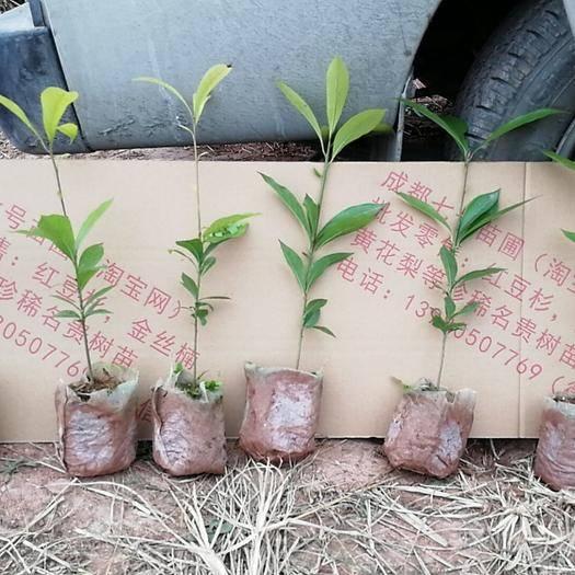 成都郫都区小叶桢楠 专业基地金丝楠苗营养杯苗无纺布袋量大量小都发货