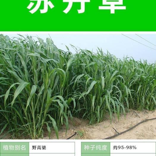 宿迁沭阳县苏丹草种子 牧草种子