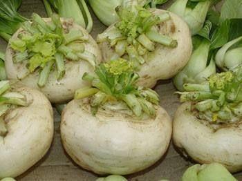 济南盘菜种子