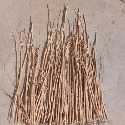 定西岷县黄芪种苗