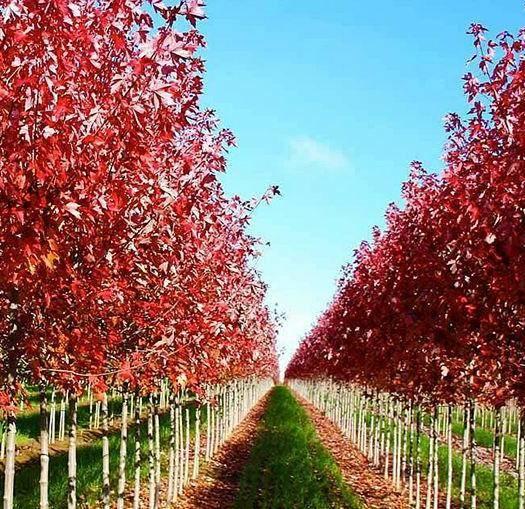 临沂枫树种子  美国红点红枫