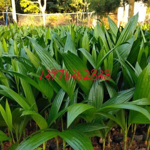 海南文昌槟榔种子