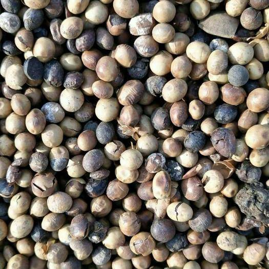 海阳市 高温下地大豆