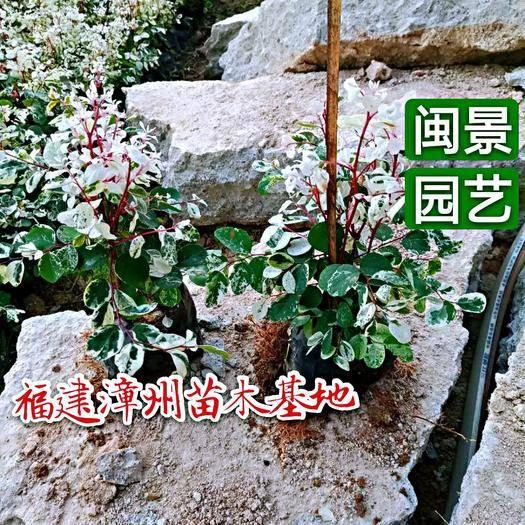 漳州漳浦縣花葉蔓吊蘭  30cm以下 白雪木福建漳州