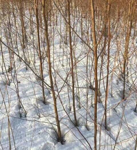 吉林丰满区白桦树苗