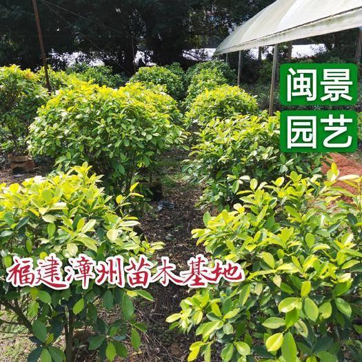 漳州漳浦县黄榕 黄金榕高0.5-1米