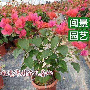 同安红三角梅高40厘米小红盆福建漳州苗木基地
