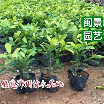 金叶榕 黄金榕高25到40厘米福建漳州苗木基地