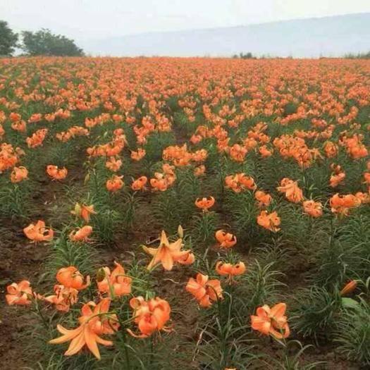 兰州榆中县百合种子 大量出售……