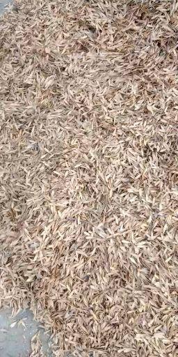 天津白蜡种子  出售白蜡种子10万斤