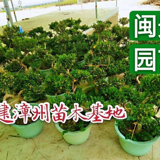 漳州龍海市雀舌黃楊 好50到60厘米福建漳州苗木基地