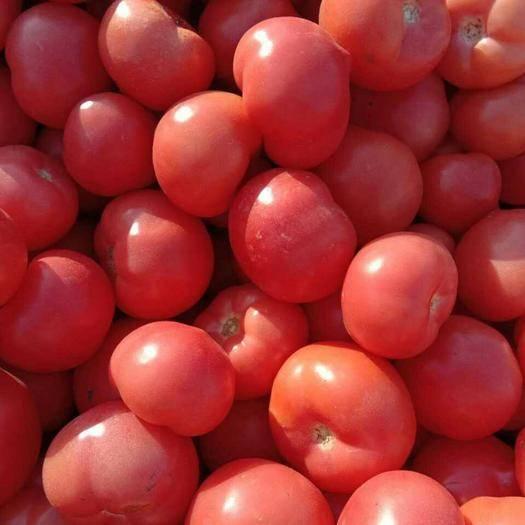 邯鄲 硬粉西紅柿基地大量上市