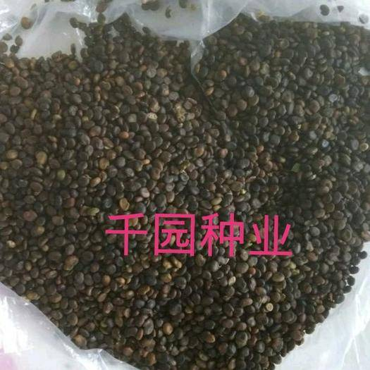 平山县黄芪种子 纯新籽