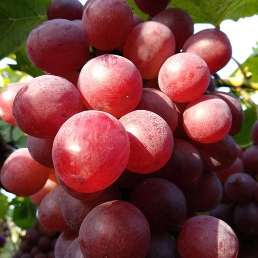 晋州市红地球葡萄 2斤以上 5%以下 1次果