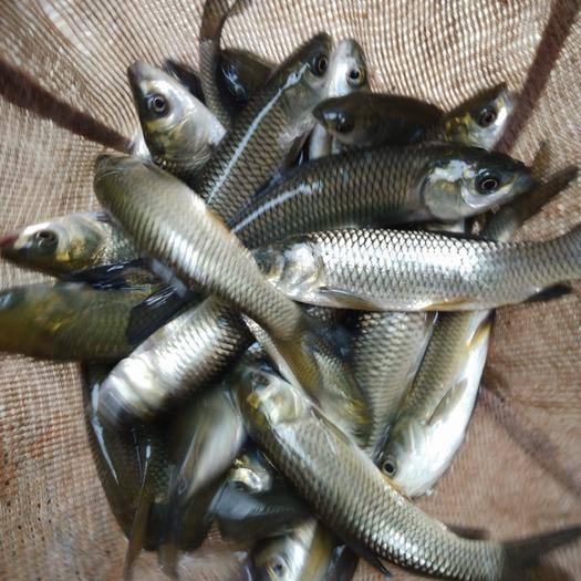 习水县水库草鱼 支持送货上门,货到付款量大从优,四川,云南,贵州,湖南,广西