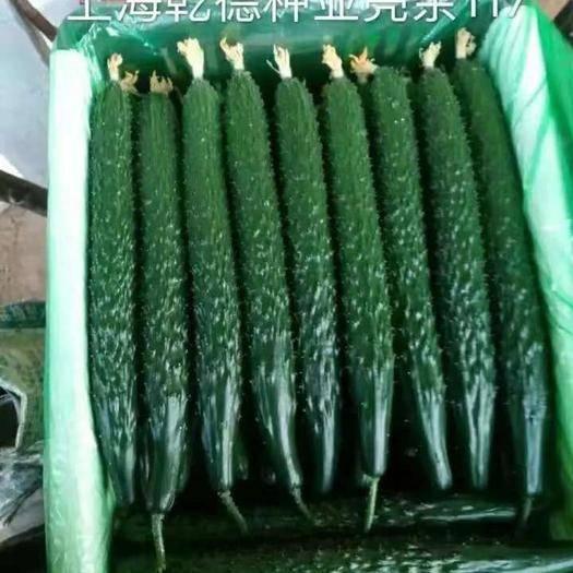 寿光市 乾德117    密刺油亮黄瓜种子