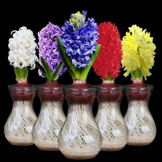 临沂郯城县风信子种球 荷兰花水培植物套装水养土培室内外耐寒洋水仙种子花卉