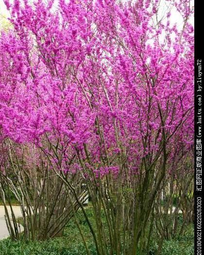 十堰房县紫荆花种子