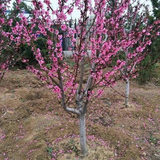 泰安岱岳区满天红碧桃苗