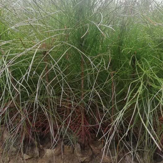 霍山县湿地松树苗