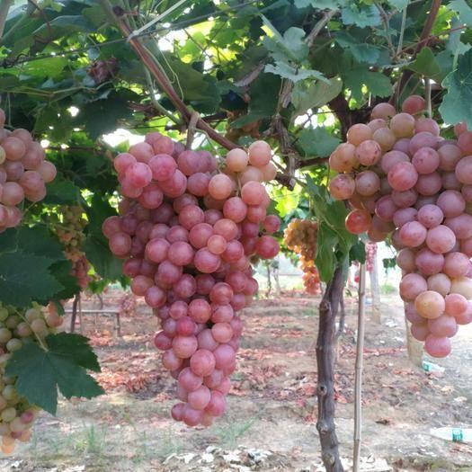 常宁市 美国红提葡萄新鲜红提果园直摘发货