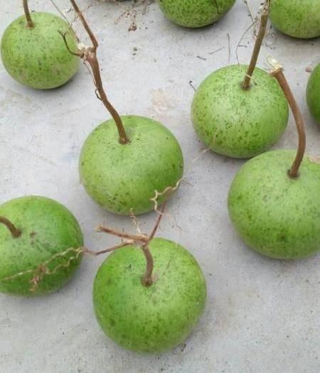 济南苹果葫芦种子