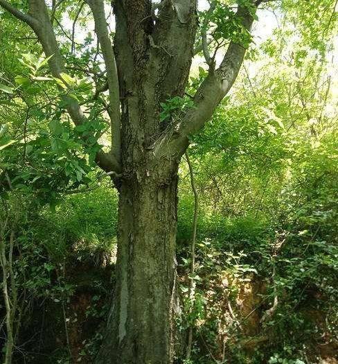 宿迁沭阳县朴树种子  林木种子