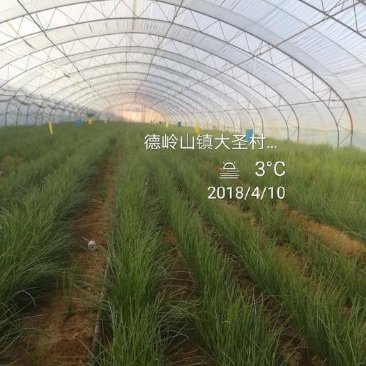 巴彦淖尔乌拉特中旗沙葱种子