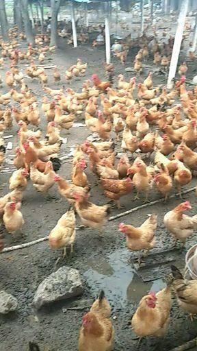 铜陵郊区 散养皖南土鸡