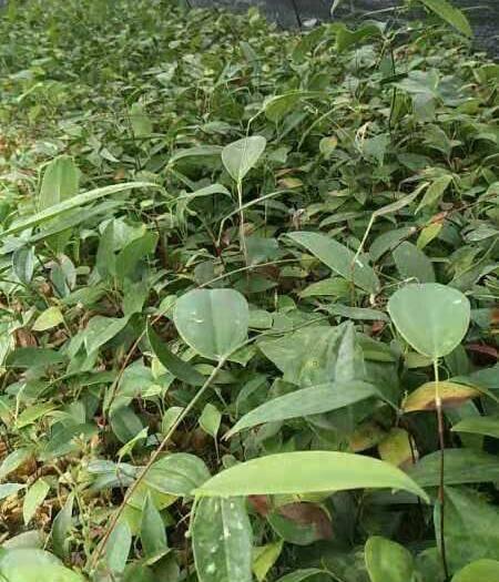 玉林北流市土茯苓苗