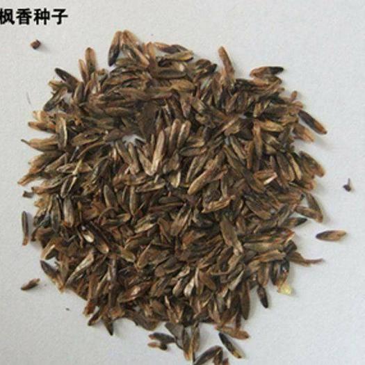 贵阳枫香种子  发芽率95%以上