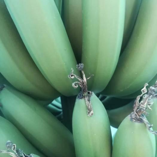 东莞市广东香蕉1号 七成熟