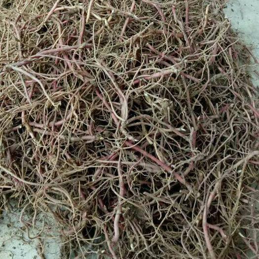 亳州譙城區 懶人種紫菀,效益高
