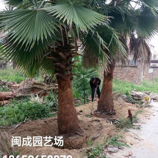 漳州漳浦縣華盛頓的華棕 老人葵5-6米【閩成