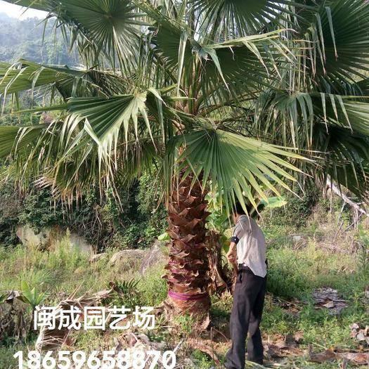 漳州漳浦縣廣東老人葵  3-3.5米【閩成】