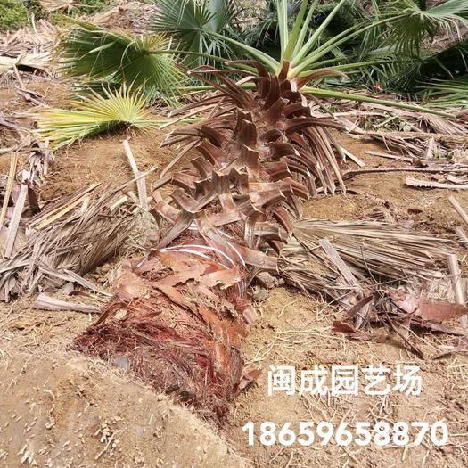 漳州漳浦縣廣東老人葵  2-2.5米【閩成】