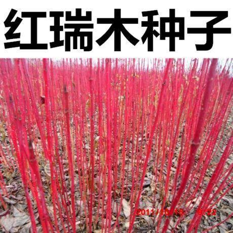 宿迁沭阳县红瑞木种子
