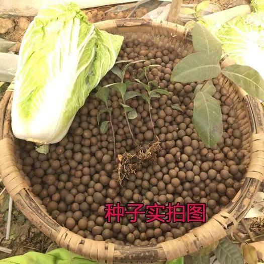 宿迁沭阳县白茶种子