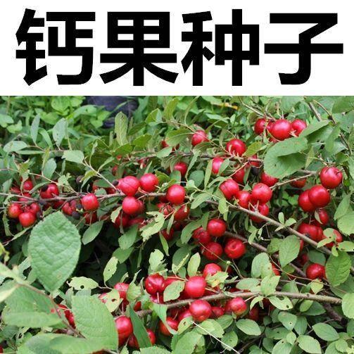 宿迁沭阳县钙果种子