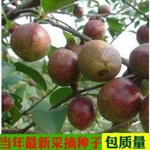 宿迁沭阳县红茶种子