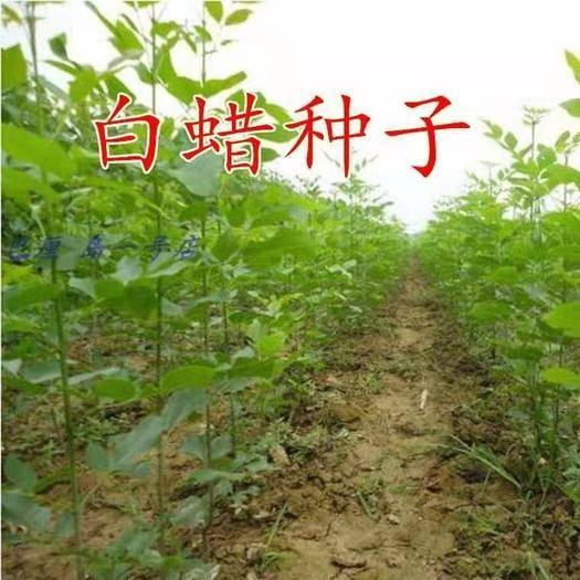 沭阳县白蜡种子