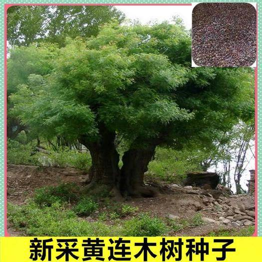 宿迁沭阳县黄连木种子