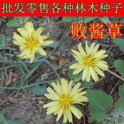 宿迁沭阳县败酱草种子