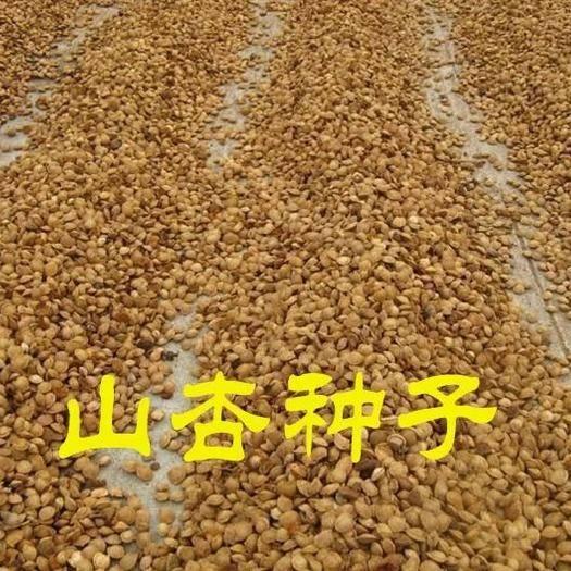 宿迁沭阳县山杏种子 85%以上