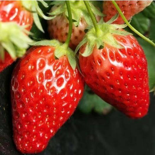 平邑县巨星一号草莓苗 四季草莓,奶莓