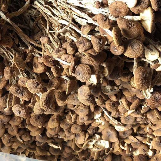 昆明官渡区 优质茶树菇