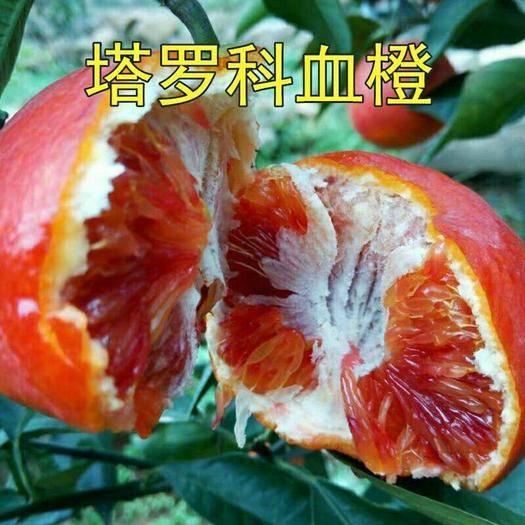 临沂平邑县血橙苗 橙子树苗嫁接秭归脐橙塔罗科血橙38号果冻橙地栽盆栽南方北方种